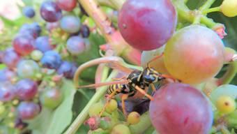 Eine Wespe beim Mittagessen.