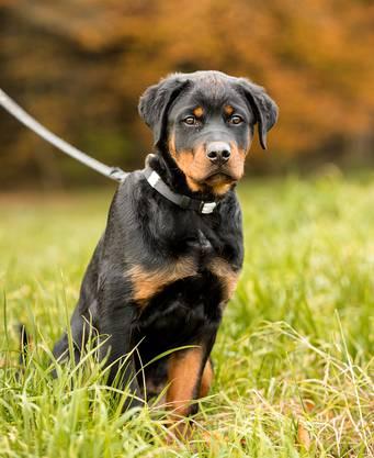Als die Limmattaler Zeitung Gysmo vor einem Jahr erstmals besuchte, war der Hund erst vier Monate alt.