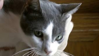 Eine Katze beweist in Italien aussergewöhnliche Treue (Symbolbild)