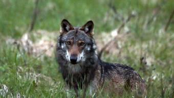 Die Walliser Regierung und der Grosse Rat wollen die Zahl der Jäger erhöhen, um die Chancen beim Wolf-Abschuss zu erhöhen. (Archivbild)