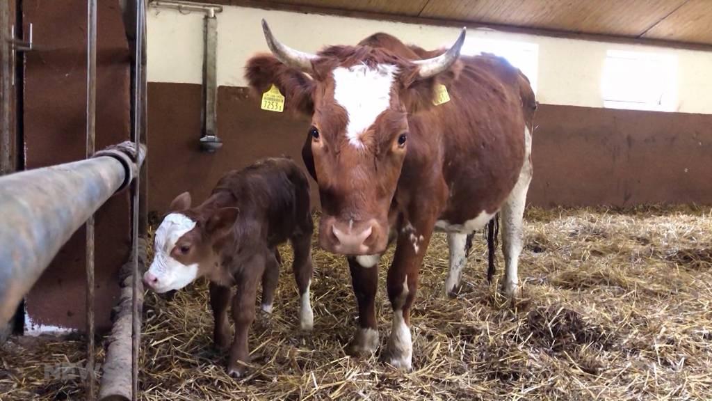 Ausreisser-Kuh Spächtli ist Mutter geworden