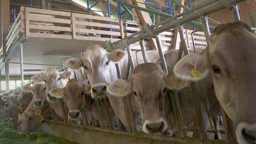 Zu eng im Stall: Schweizer Zuchtkühe werden immer grösser