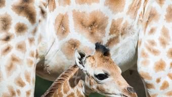 Ein Giraffen-Baby im Hagenbeck-Zoo in Hamburg: Einer der seltenen Giraffen-Zwillinge im Zoo von Buenos Aires ist am Mittwochabend gestorben. Der Bruder ist aber wohlauf. (Symbolbild)