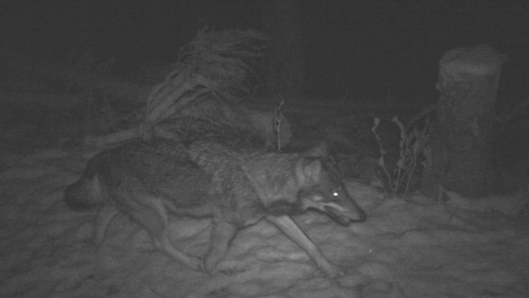Der Wolf ist in eine Fotofalle getappt.