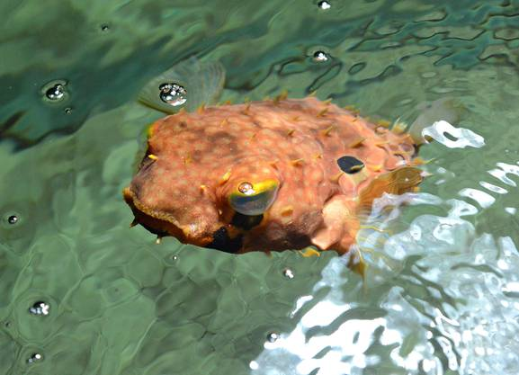 Ein Igelfisch