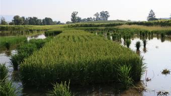 Reis wächst auch in der Nordschweiz. So wie hier beim erfolgreichen Pilotversuch der Agroscope in Schwadernau. Agroscope/Kathrin Hartmann