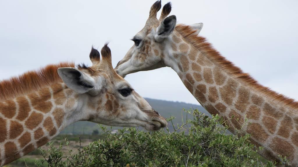 Zwei Giraffen qualvoll nach Stromschlag gestorben