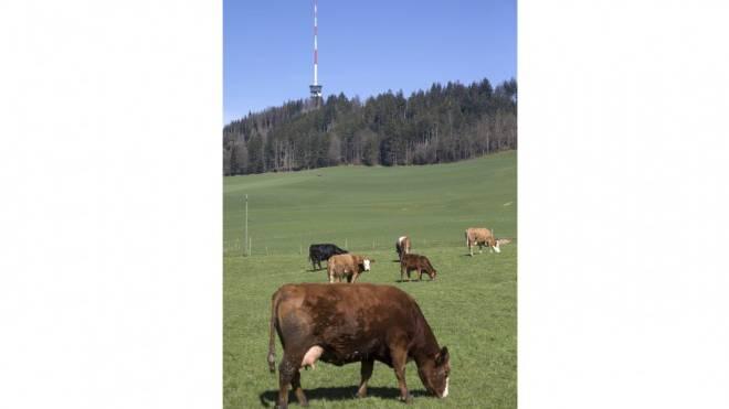 Handystrahlung beeinflusst den Organismus von Kühen. Foto: Keystone