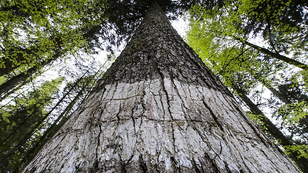 Bäume wachsen vor allem in der Dunkelheit in den Himmel