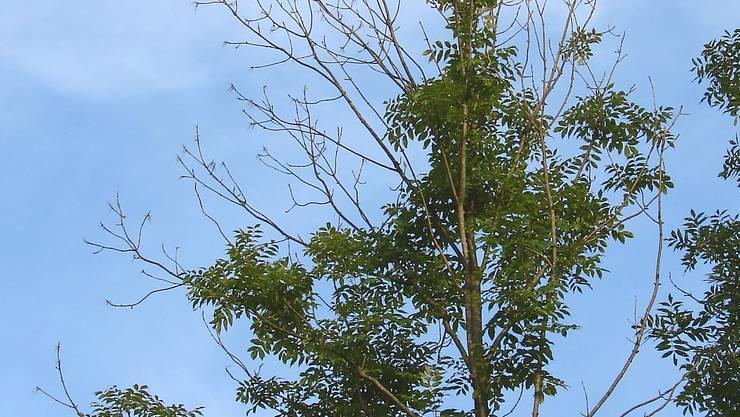 Eine Esche mit starkem Zweigsterben im Kronenbereich. (Waldschutz Schweiz/WSL)