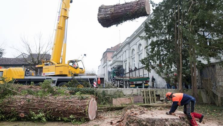 Baumfäller an ihrer Arbeit im Aarauer «Schlössli»