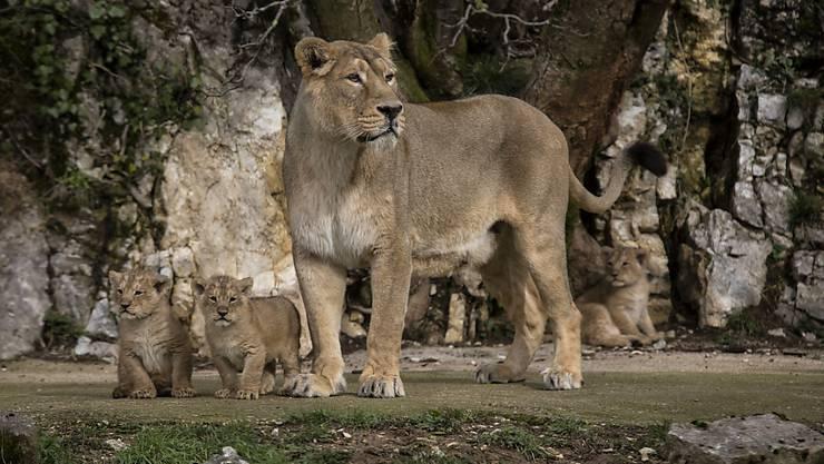 Ein asiatischer Löwe hat am Sonntag einen Mann in einem indischen Zoll getötet. (Archivbild)