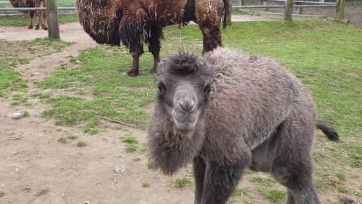 Plättli Zoo bekommt Trampeltier-Nachwuchs