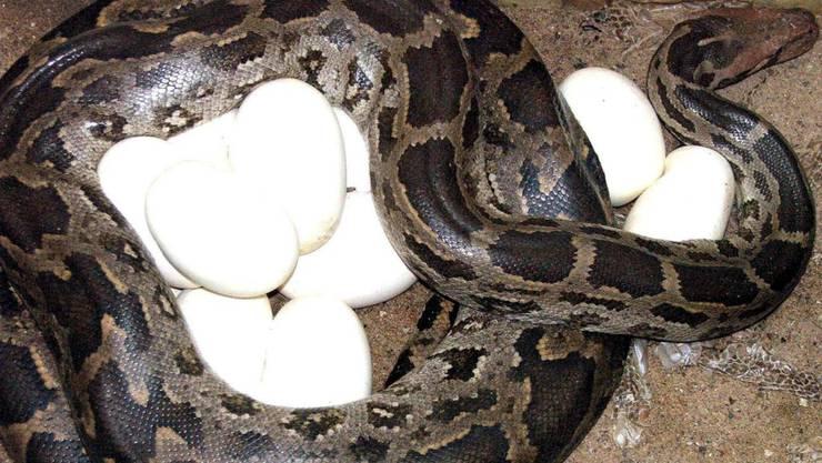 In der Wohnung in Argentiniens Hauptstadt Buenos Aires wurden 219 Schlangen, darunter auch Pythonschlangen, sowie 19 Schlangeneier entdeckt. (Archiv)