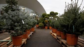 Immer mehr Menschen wollen einen Weihnachtsbaum im Topf in die gute Stube stellen. Dort sollte er jedoch nicht zu lange bleiben.