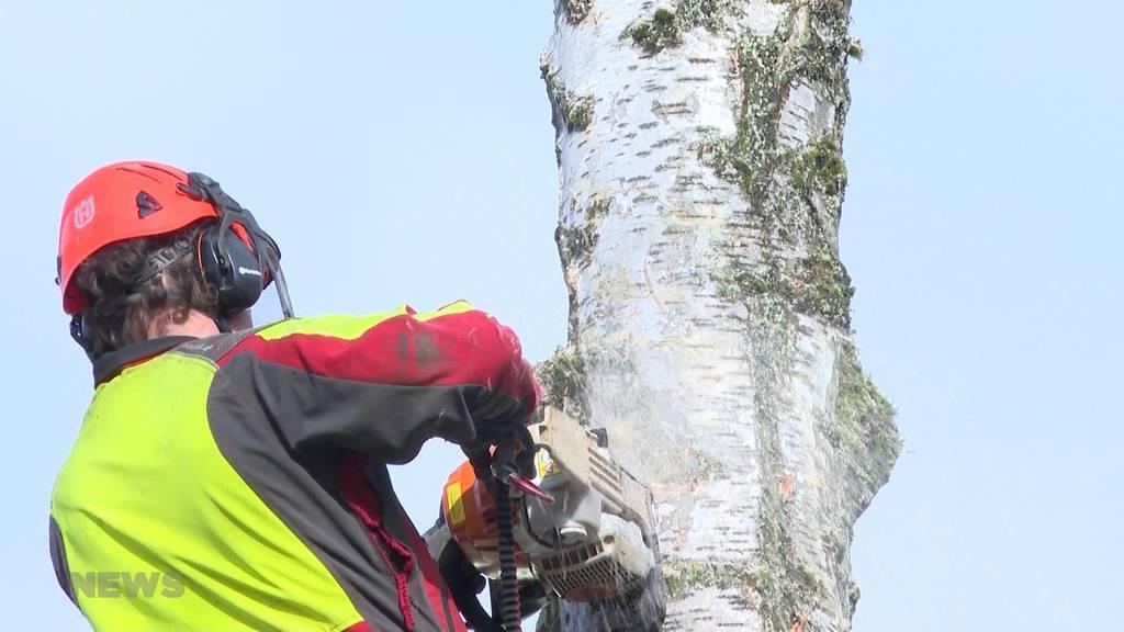 Zwei 60-jährige gesunde Birken gefällt
