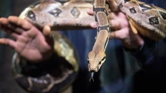 Erdrückt ihre Opfer mit ihren Muskeln: die von Mexiko bis Südamerika verbreitete Schlangenart Boa constrictor. (Symbolbild)