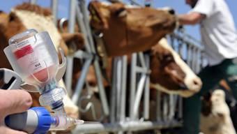 """Impfen statt töten: Sollte in der Schweiz die Tierseuche """"Lumpy skin disease"""" ausbrechen, müssen nur noch verseuchte Tiere getötet werden, wenn die Herde zuvor geimpft wurde. (Symbolbild)"""