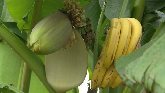 Bananen made im Aargau