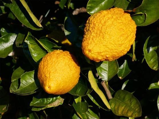 Früchte in leuchtenden Farben gibt es in Cannero bereits im März.