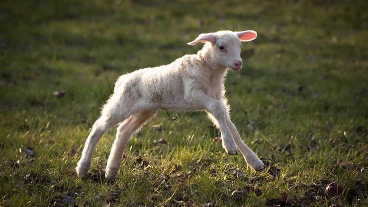 Das Leben ist schön... neugeborenes Lämmlein in Moosleerau.