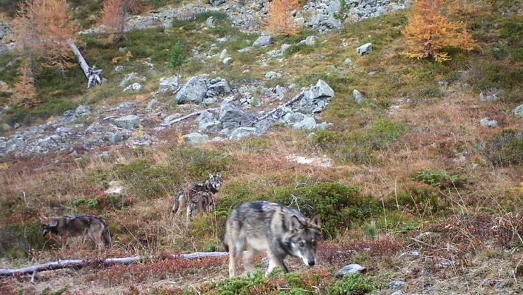 Die Gruppe Wolf Schweiz konnte den ersten Foto-Nachweis des Rudels im Oberwallis erbringen.