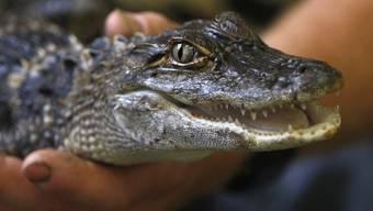 Bei den Alligatoren wachsen die Zähne nach (Archiv)