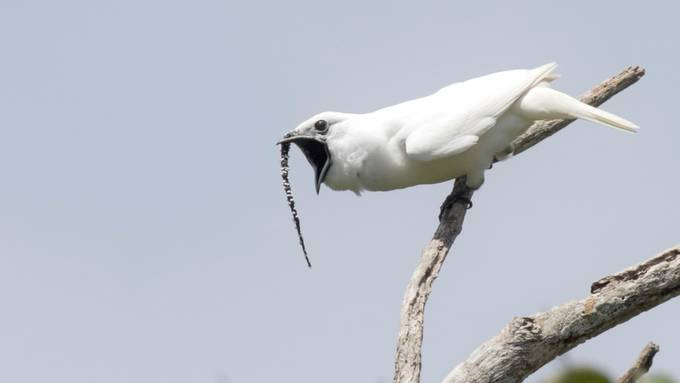 Zapfenglöckner-Männchen schreien so laut wie kein anderer Vogel.