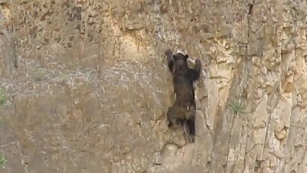 Bär kämpft sich Steilwand hoch - und verzweifelt fast