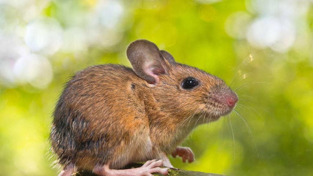 Mäuseschwänze reissen Loch ins Gemeindebudget