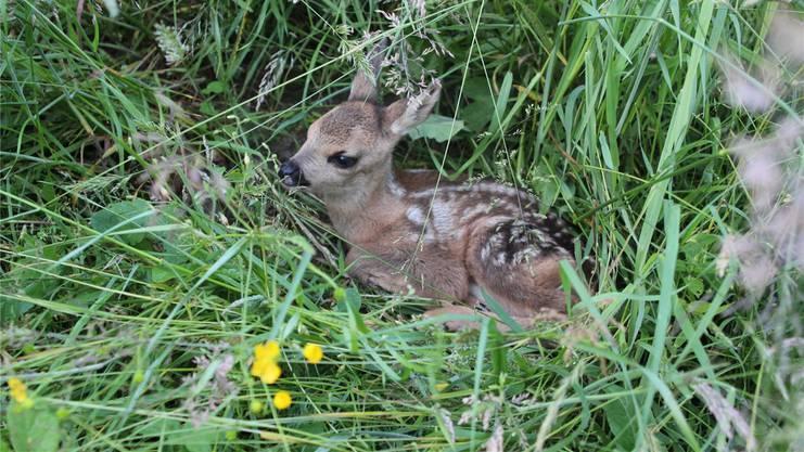 Das Rehkitz versteckt sich im Gras. Mit der Wärmebildkamera wird es entdeckt und kann vor dem Mähtod bewahrt werden.