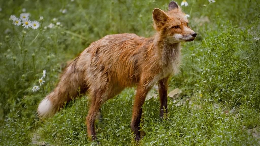 Fuchsplage