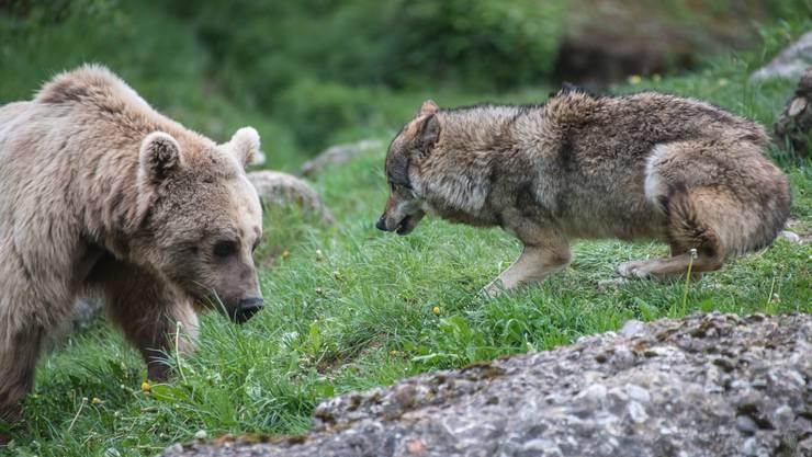 Seit 2009 leben sie in einem gemeinsamen Gehege: Bär und Wolf im Tierpark Goldau.