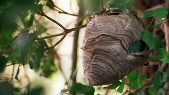 Ohne die Nachbarn zu warnen zerstörte ein Imker im Jahr 2012 ein Wespennest. Ein 70-jähriger Mann fiel daraufhin einem Angriff des Wespenschwarmes zum Opfer. Der Imker wurde nun der fahrlässigen Tötung schuldig gesprochen. (Symbolbild)