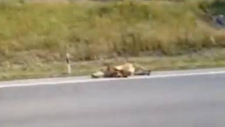 Kantonspolizei erschiesst auf Aargauer Autobahn entlaufenes Rind