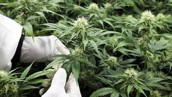 Der Nationalrat befürwortet Versuche zur Abgabe von Cannabis im Grundsatz. Über die Details hat er noch nicht beraten.