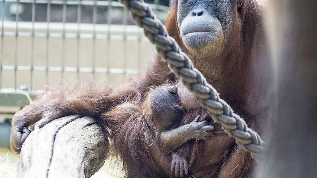 Orang-Utan Weibchen Xira mit Töchterchen Pandai im Zoo Zürich. Die Gruppe mit insgesamt zehn Tieren ist Teil des Europäischen Erhaltungszuchtprogramms. (Archivbild)