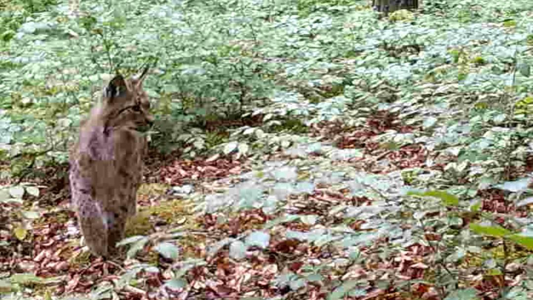 Auf dem Buck oberhalb des Leuggemer Ortsteils Fehrental tappte der Luchs mehrmals in die Kamerafalle