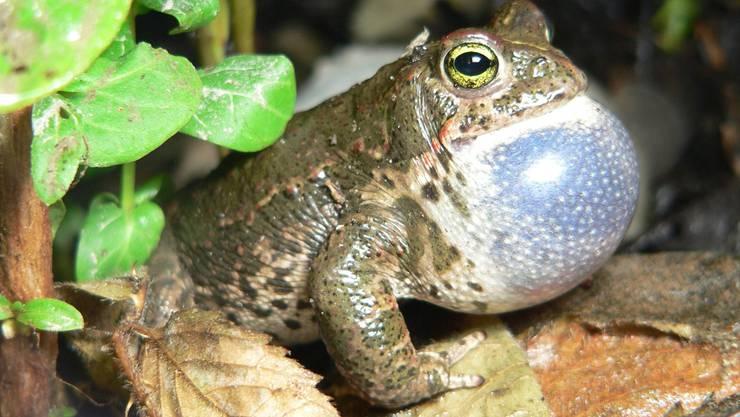 Die Kreuzkröte ist stark bedroht, das Naturschutzgebiet soll ideale Bedingungen für die Tiere schaffen. (Archiv)