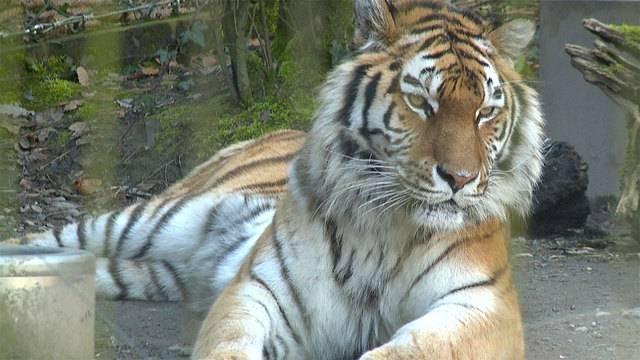 Zoo Zürich trauert um Amurtigerin Elena