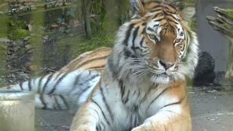 Zoo-Direktor Alex Rübel über den überraschenden Tod von Amurtiger-Dame Elena.