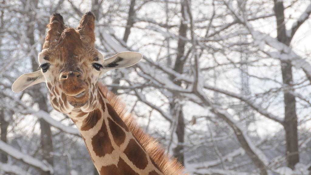 «Giraffen könnten sich Beine brechen»