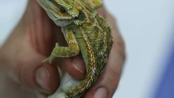 Alles andere als ein Kuscheltier: Eine Bartagame, eines der vielen ausgestellten Reptilien in der Lausner Mehrzweckhalle. (Bild: Daniel Aenishänslin)