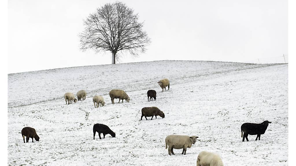 Ihnen macht die Kälte wenig: Schafe beim Weiden im Hirzelgebiet. (Archivbild)