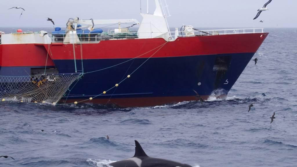 Bei deutschen Versicherungen werden Schäden an Booten durch Orcas gemeldet. Diese würden finanziell aber nicht ins Gewicht fallen. (Archivbild)