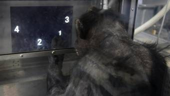Die Schimpansin Ai aus Kyoto macht Denksport für die Forschung. Ihre künftigen Artgenossen werden wie sie auf natürliche Weise gezeugt und nicht von der Forschung designt. Das Europäische Patentamt hat die Patentierung von gentechnisch veränderten Schimpansen für nicht rechtens erklärt. (Symbolbild)