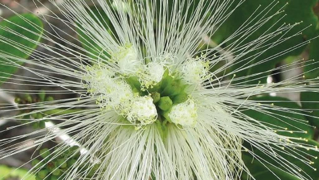 Abarema filamentosa aus der Familie der Hülsenfrüchtler, beheimatet im Atlantischen Wald in Brasilien, ist eine von zig gefährdeten Pflanzenarten.