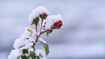 Rosen und mediterrane Pflanzen sind besonders kälteempfindlich.