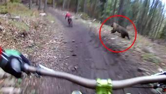 Im gestreckten Galopp jagt der Bär den vorderen Biker.
