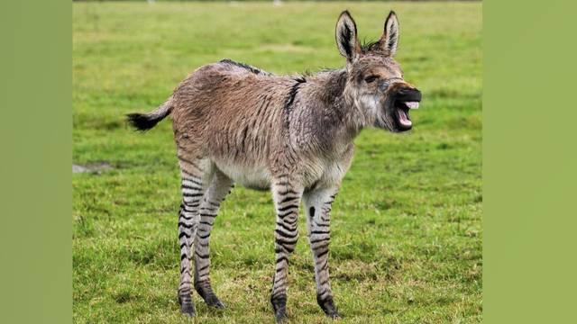 So sieht das Baby von Zebra und Esel aus